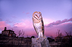 Barn Owl at dusk Zamora Spain (Barn Owl)
