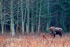Wisent in a clearing Bialoweza Poland� (European bison)