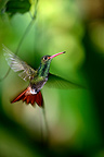 Hummingbird flight stationary Bolivar Ecuador (Hummingbird)