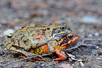 Pair of European frogs mating on the way to the pool Belgium