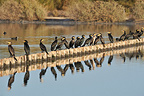 Flock of Great cormorants resting in a salt marsh Portugal (Great cormorant)