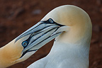 Gannets quarelling, Bonaventure Island, Canada. A conservation area is located on the cliffs of the south-east coast of the island.The second largest colony in the world, the close proximity of nests mean clashes are common.