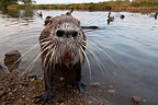 Portrait of Nutria Pond Villepey France (Coypu)