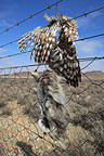 Predator death on a fence, Karoo, South Africa