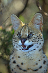 Portrait Serval Rehabilitation Centre Tenikwa�South Africa (Serval)