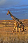 Giraffe walking at dusk Kgalagadi South Africa (Southern Giraffe)