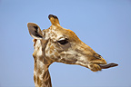 Portrait Giraffe tongue out Kgalagadi South Africa� (Southern Giraffe)