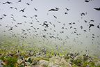 Least Auklet flock flying in the mist Alaska (Least Auklet)