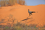 Secretary bird on a sanddune Kgalagadi South Africa� (Secretarybird)