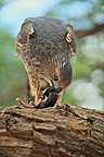 Chanting Goshawk eating a snake Kgalagadi South Africa (Pale Chanting-Goshawk)