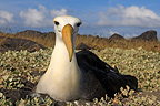 Waved Albatross on Espanola Island in the Galapagos (Waved Albatross)