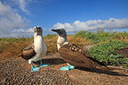 Blue-footed Boobies on the island of Espanola  (Blue-footed Booby)