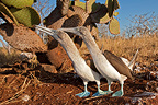 Two Blue-footed Booby on the Seymour island Galapagos (Blue-footed Booby)