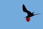 Greater Frigatebird in flight Seymour Island at Galapagos (Great Frigatebird)