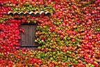 Virginia creeper covering the facade of village house