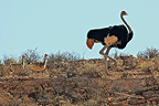 Male and young Ostrich Kgalagadi South Africa  (Ostrich)