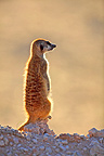 Meerkat watching around Kgalagadi South Africa (Meerkat )
