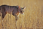 Wild cat lying in wait in the grass Kgalagadi South Africa (African Wildcat)