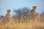 Cheetahs stalking in the grass Kgalagadi South Africa  (Cheetah)
