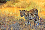 Leopard hunting in the grass Kgalagadi South Africa� (African leopard)