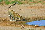 Leopard scenting a water Kgalagadi South Africa� (African leopard)