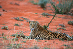 Leopard lying on the sand Kgalagadi South Africa (African leopard)