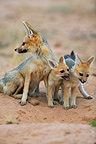 Cape fox and young at den Kgalagadi South Africa (Cape fox )