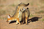 Young Cape Foxes playing Kgalagadi South Africa (Cape fox )