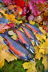 Brook trout on moss and fall foliage, France  (Brook trout)