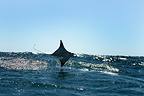 Mobula ray leaps clear of the water and skims the swell (Spinetail Mobula ray)