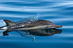 Common dolphin surfing  Gulf of California (Short-beaked saddle-backed  (common) dolphin)