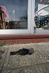 Blackbird killed flying into window West Midlands UK (Blackbird)