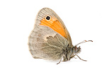 Small heath in studio on white background Provence France