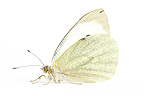 Large white in studio on white background Provence France