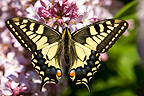 Old World Swallowtail at spring in Provence France (Old World Swallowtail Butterfly)
