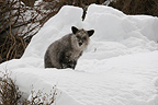 Japanese Serow in the snow Jigokudani Honshu Japan (Japanese serow)