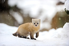 Sable walking in the snow Hokkaido Japan  (Sable)
