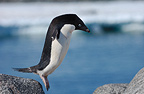 Adelie penguin jumping from rock to rock Antarctica (Adelie penguin)