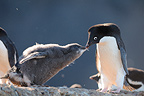 Adelie penguin feeding its chick in the Ross Sea  (Adelie penguin)