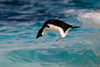 Adelie penguins jumping into water in Ross Sea (Adelie penguin)