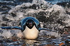 Adelie penguins returning from fishing caught in a wavE (Adelie penguin)