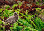 Variable Oystercatcher chick in New Zealand (Variable Oystercatcher)