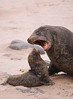 New Zealand Sea Lion intimidating a young (New Zealand Sea Lion)
