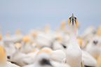 Australasian Gannet colony of Cape Kidnappers New Zealand (Australasian Gannet)