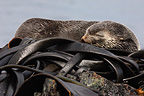 Fur seal resting on Macquarie Island