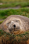 Portrait of an Elephant Seal resting South Australia (Southern elephant seal )