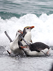 Royal Penguins out of the water Australia  (Royal Penguin)
