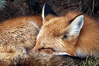 Red fox lying on the grass to rest Canada� (Red fox)