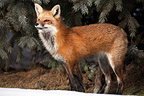 Red fox looking before Canada  (Red fox)