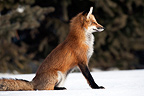 Red fox sitting in the snow looking before Canada (Red fox)